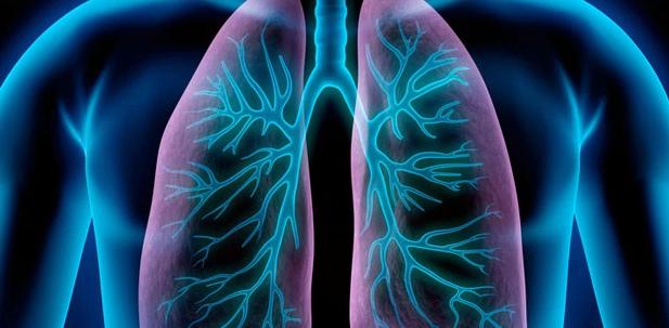 Die Bronchien reinigen die eingeatmete Luft