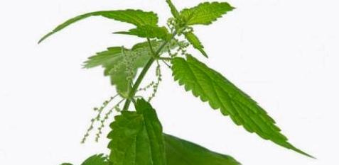 Brennessel als Mittel gegen Gelenkschmerzen