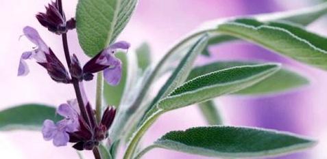 salbei-salvia-officinalis-hilft-bei-wechseljahresbeschwerden-und-infekten