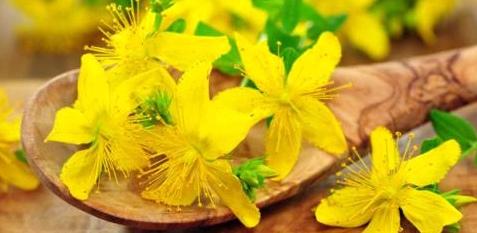 Johanniskraut ist Arzneipflanze des Jahres 2015