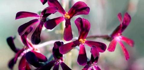Die Kapland-Pelargonie wirkt antibakteriell