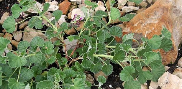 Die Kapland-Pelargonie wird auch Umckaloabo genannt
