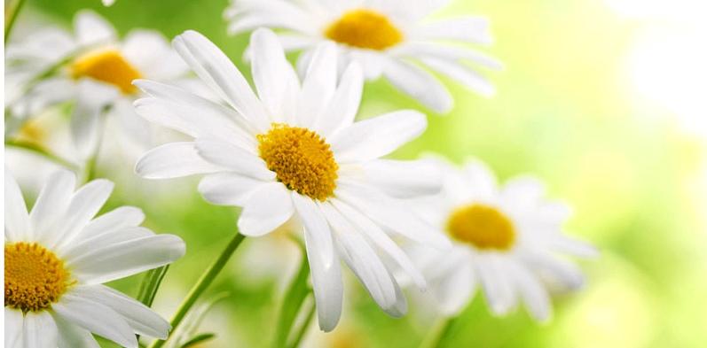 Kamille hilft sanft bei Beschwerden