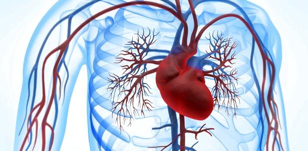 Grafik des Herzmuskels